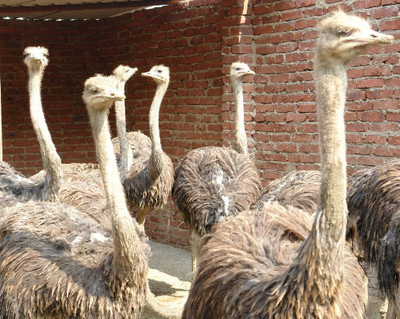 丹东大鸵鸟有多重行情 客户至上